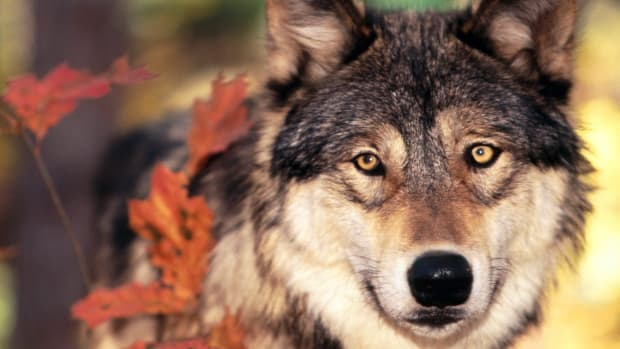 animal-spirit-guides-the-wolf