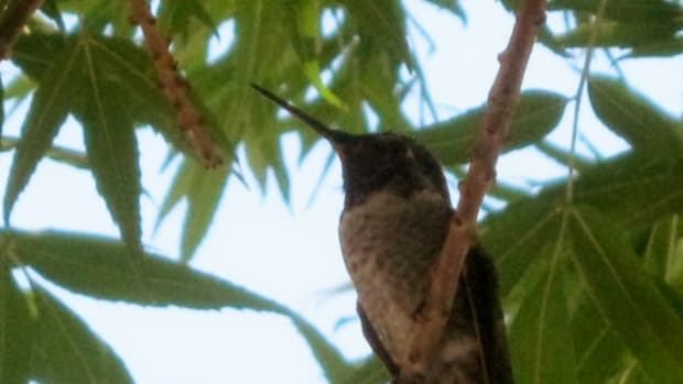 hummingbirds-in-our-yard