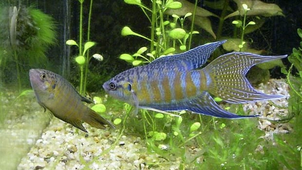 paradise-fish-and-other-tropical-fish-that-can-be-kept-outside-in-summer