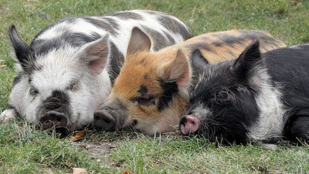 5-common-myths-about-raising-pigs