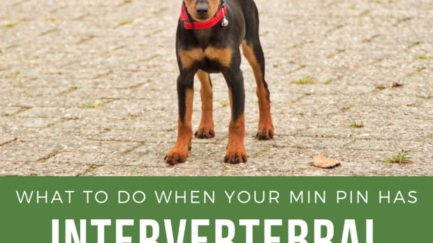 my-min-pin-has-intervertebral-disc-disease