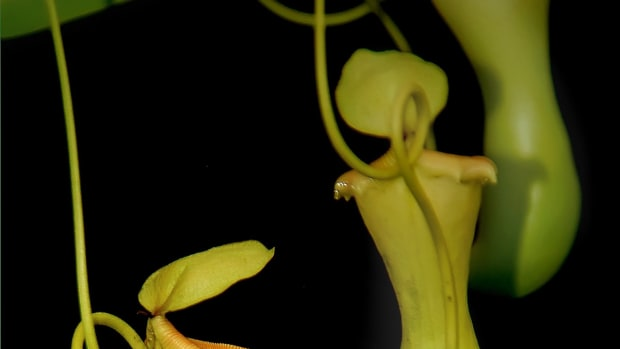 the-pitcher-plant-a-poem