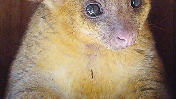the-kinkajou-or-honey-bear-a-rainforest-mammal-and-exotic-pet