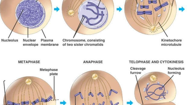 stages-of-the-cell-cycle-mitosis-part-2-of-2