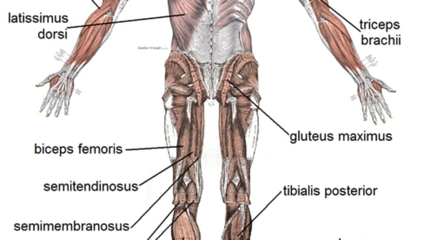 human-muscular-system-human-muscles-and-busiest-muscle-in-the-body