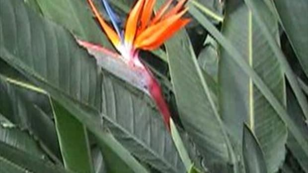caring-for-bird-of-pardise-sterilitzia