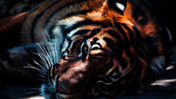 -wild-tigers-likely-to-be-extinct