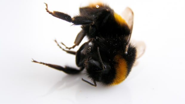 why-honey-bees-are-dying-off