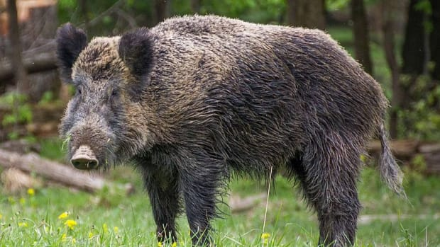 hey-lets-give-the-wild-boars-a-break