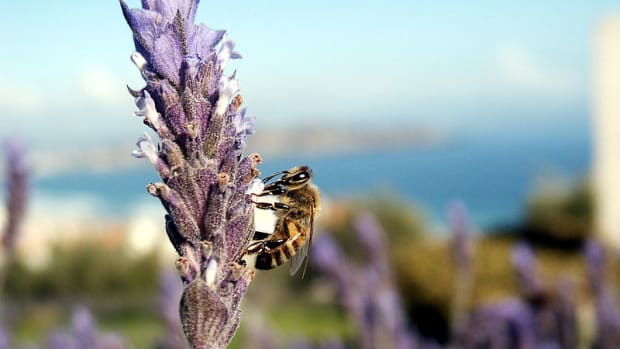 invasive-insects-how-dangerous-are-killer-bees-in-the-us