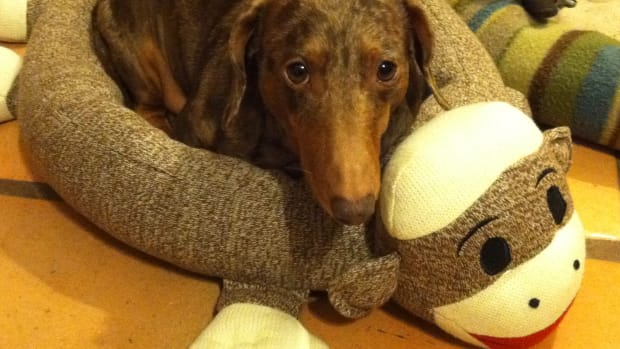 rescuing-a-dachshund-things-to-know