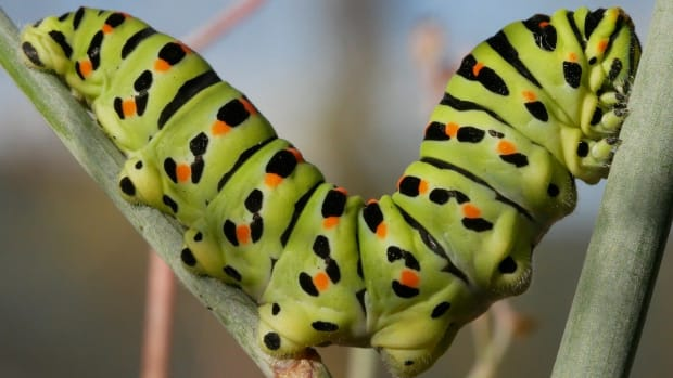 how-to-raise-a-caterpillar-into-a-butterfly-or-moth