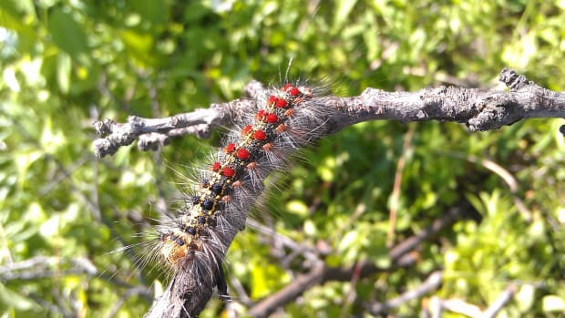 gypsy-moth-caterpillar-identification