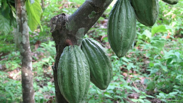 chocolate-slavery-slave-labor-in-the-cocoa-industry