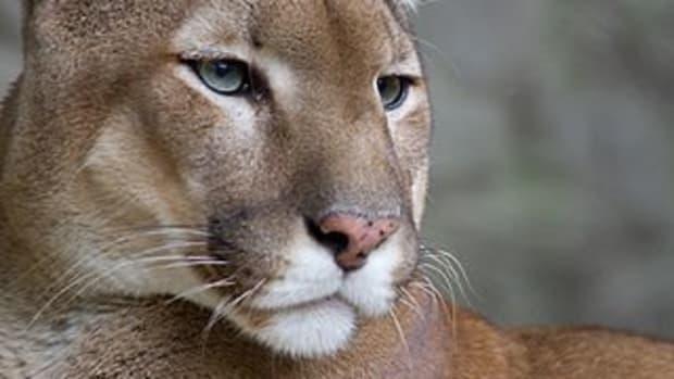 the-eastern-cougar-in-north-carolina