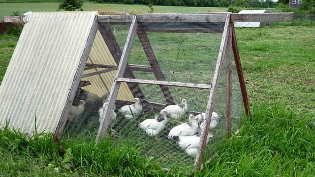 chicken-tractors-raising-chickens-and-collecting-eggs