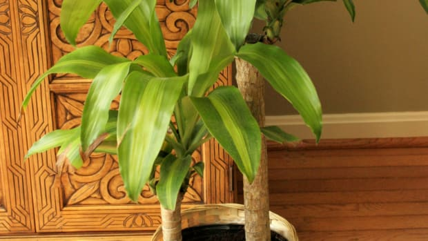caring-for-dracaena-mass-cane-mass-cane-corn-plant-dracaena-massangeana