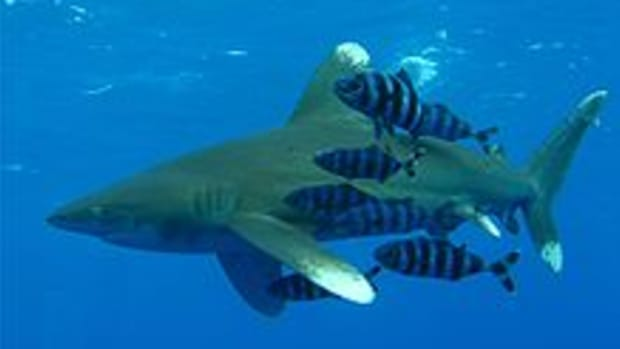 are-there-dangerous-sharks-in-british-waters