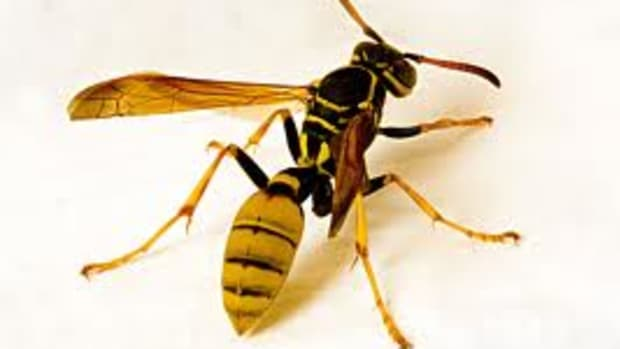 turn-a-2-liter-pop-bottle-into-a-killer-wasp-and-hornet-trap