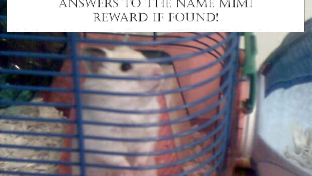 missing-hamster-what-to-do-when-your-hamster-is-missing