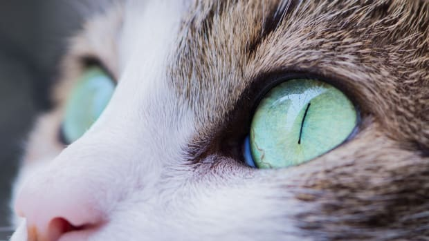 home-remedies-for-a-cats-eye-infection