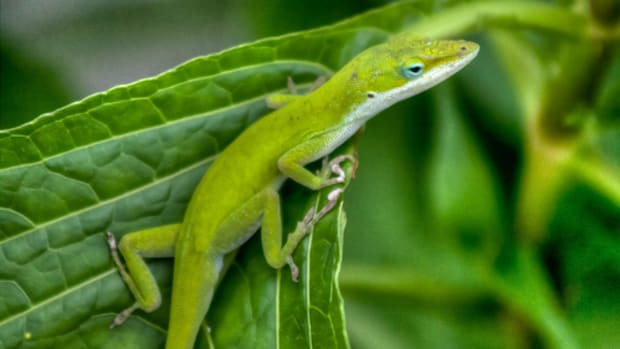 why-do-lizards-lose-their-tails-limb-regeneration