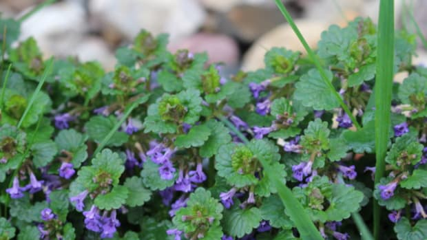 how-to-get-rid-of-creeping-charlie-lawn-weeds