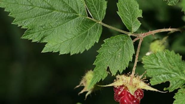 using-red-raspberry-leaf-to-improve-fertility