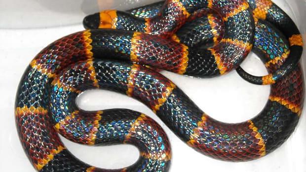 poisonous-snakes-of-florida