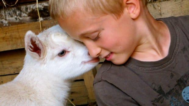 raising-goats-breeding-and-kidding