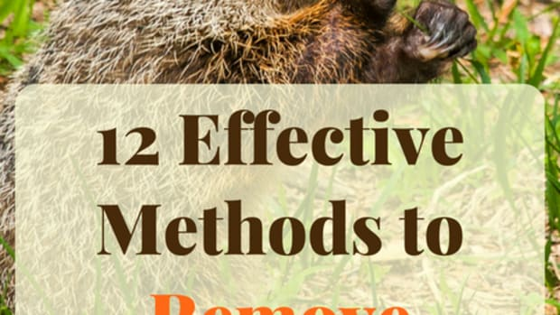 how-to-get-rid-of-woodchucks-ground-hogs