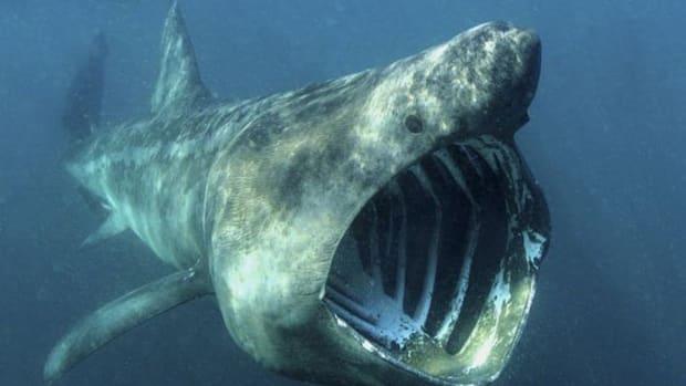 basking-sharks