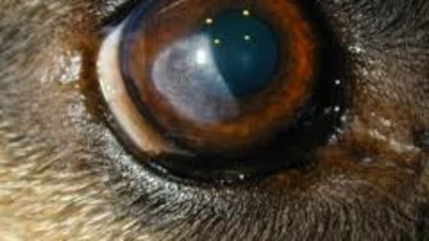 underactive-thyroid-hypothyroidism-in-dogs