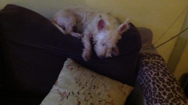 owning-a-westie