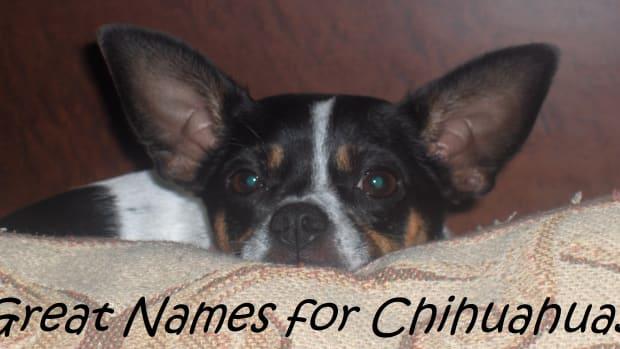names-for-chihuahuas
