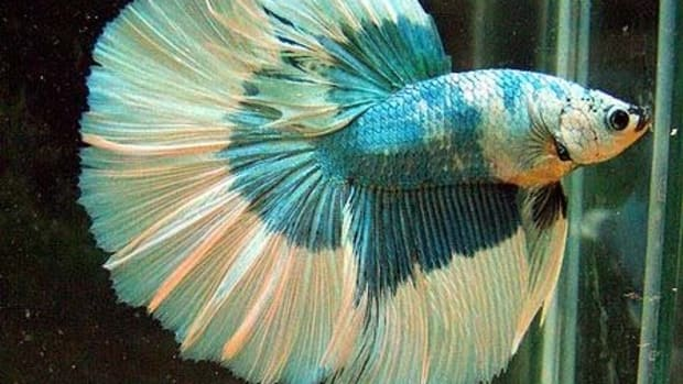 how-i-made-a-difference-to-neglected-betta-fish