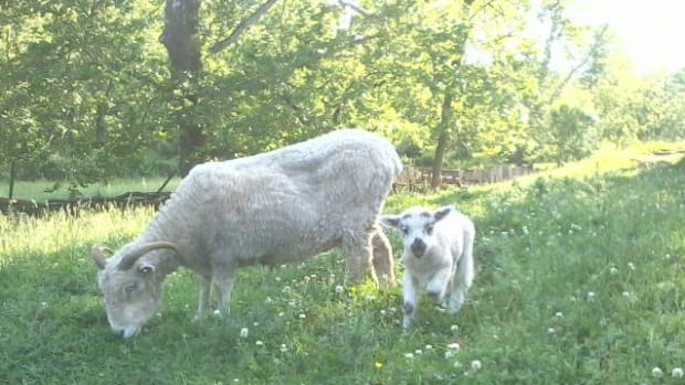 sheep-in-suburbia-a-basic-care-guide