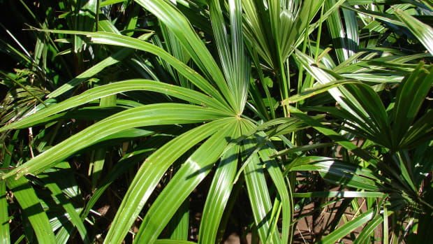 caring-for-rhapis-palm-lady-fingers-palm