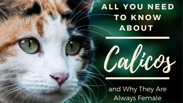 why-are-calico-cats-always-female