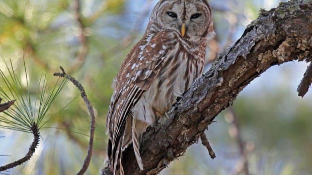 owls-in-western-north-carolina