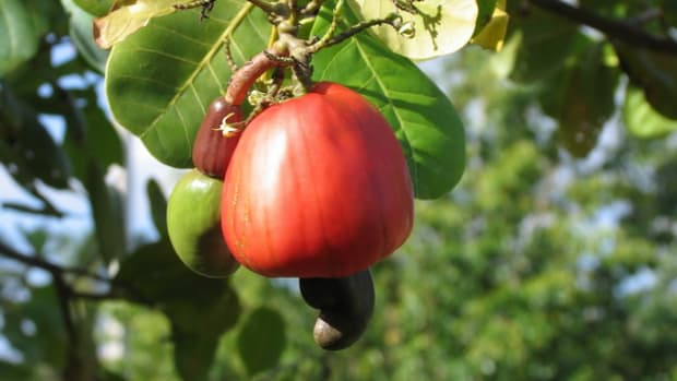 how-do-cashews-grow