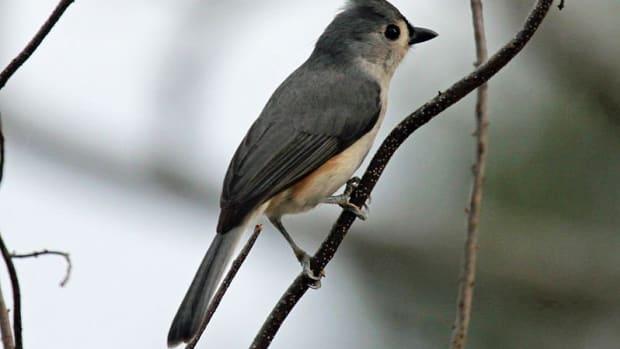 back-yard-birds-of-western-north-carolina
