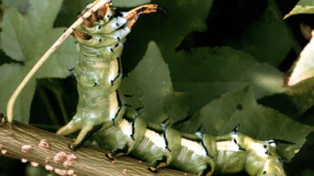 caterpillar-identification