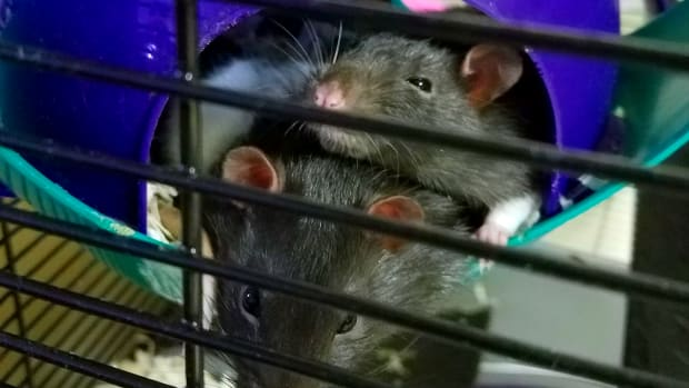 introducing-a-new-pet-rat