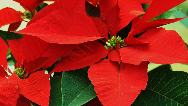 how-to-overwinter-poinsettia