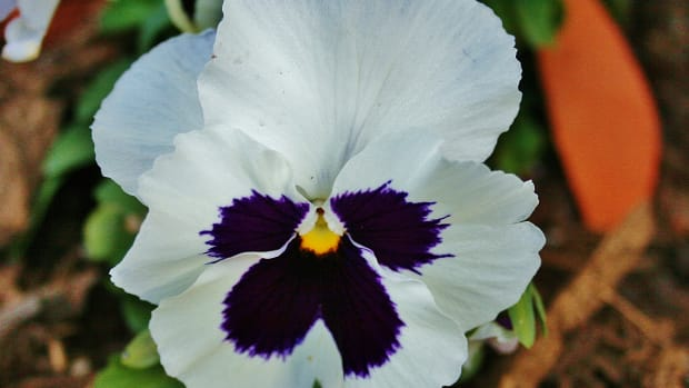 all-year-round-pansies