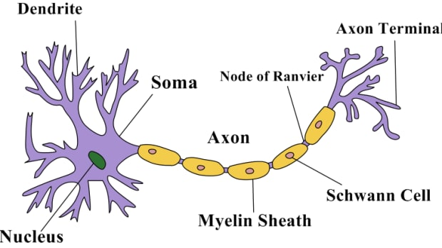 structure-of-a-neuron