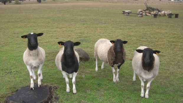 sheep-to-have-them-as-pets-hints-and-tips-pros-and-cons