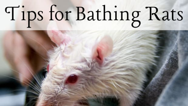 how-to-bathe-your-pet-rat-without-stress