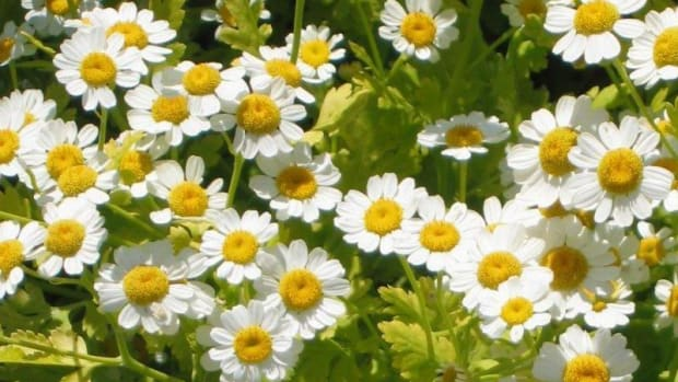 health-benefits-of-feverfew